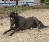Black Jack cools off by lying down in the sand